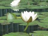 водная лилия denver