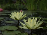 nymphaea joey tomocik