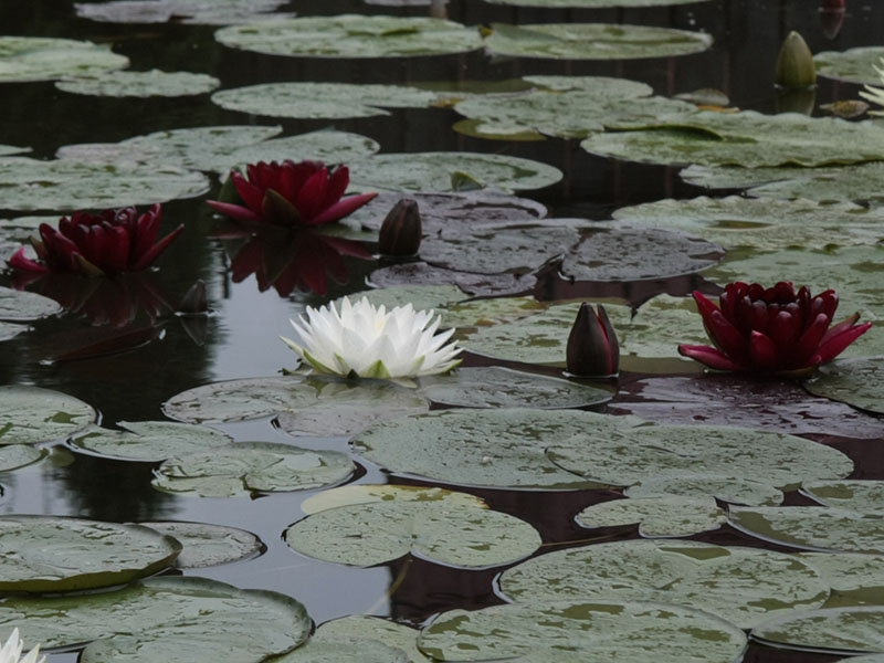 Nymphaea Black Princess 3
