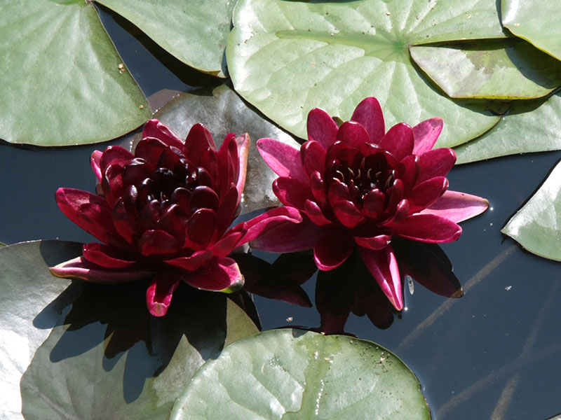 Nymphaea Black Princess 5