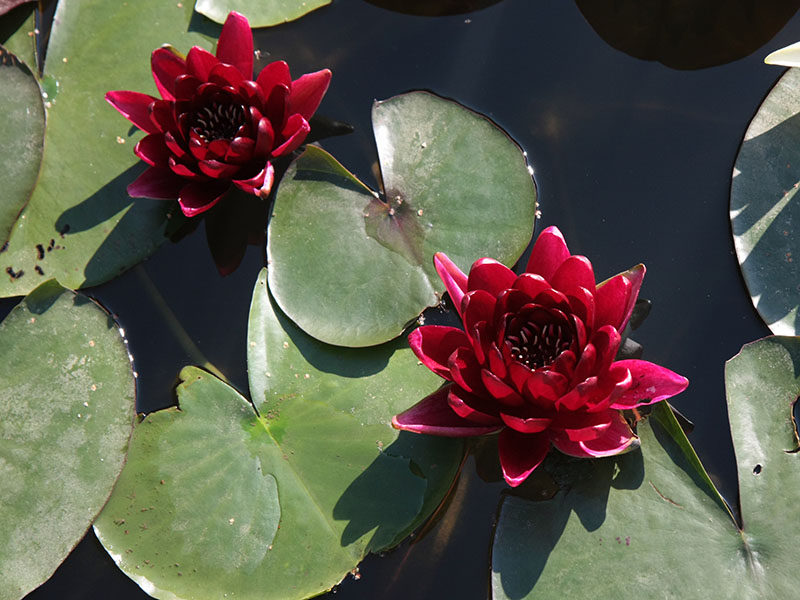 Nymphaea Black Princess 6