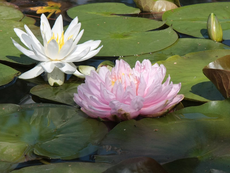Nymphaea Lily Pons 1