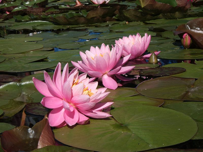 Nymphaea Razzberry