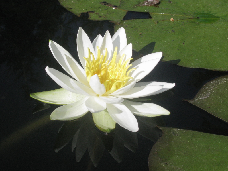 Nymphaea Virginia