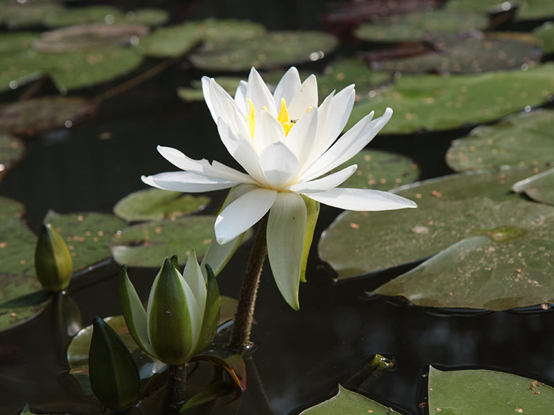 Nymphaea Virginia 11