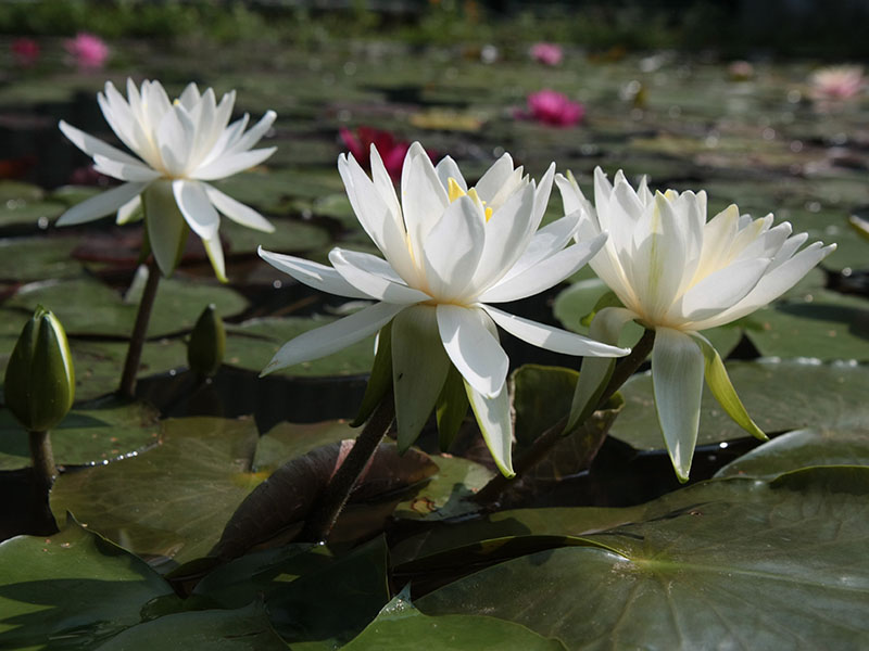 Nymphaea Virginia 5