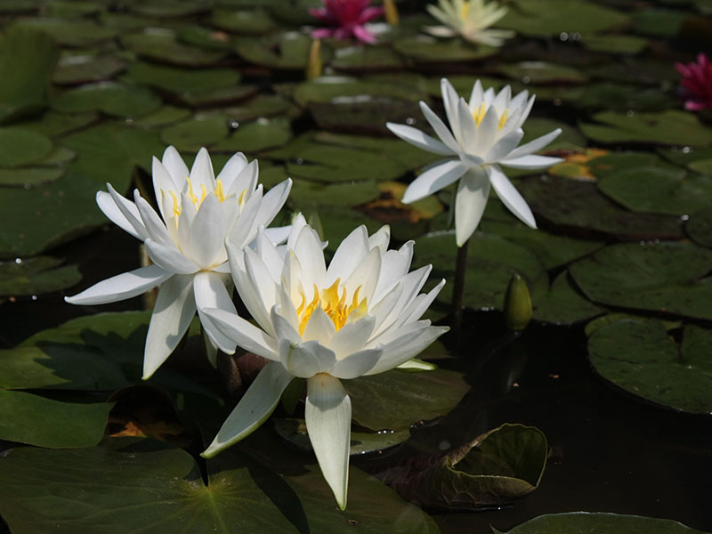 Nymphaea Virginia 6