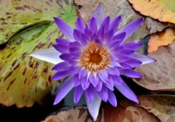 Nymphaea Tropical Amethyst Mist