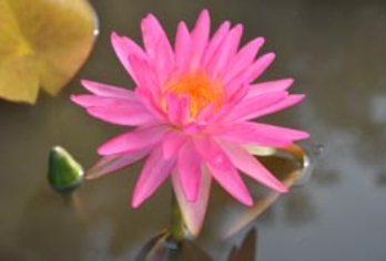 Nymphaea Pink Silk